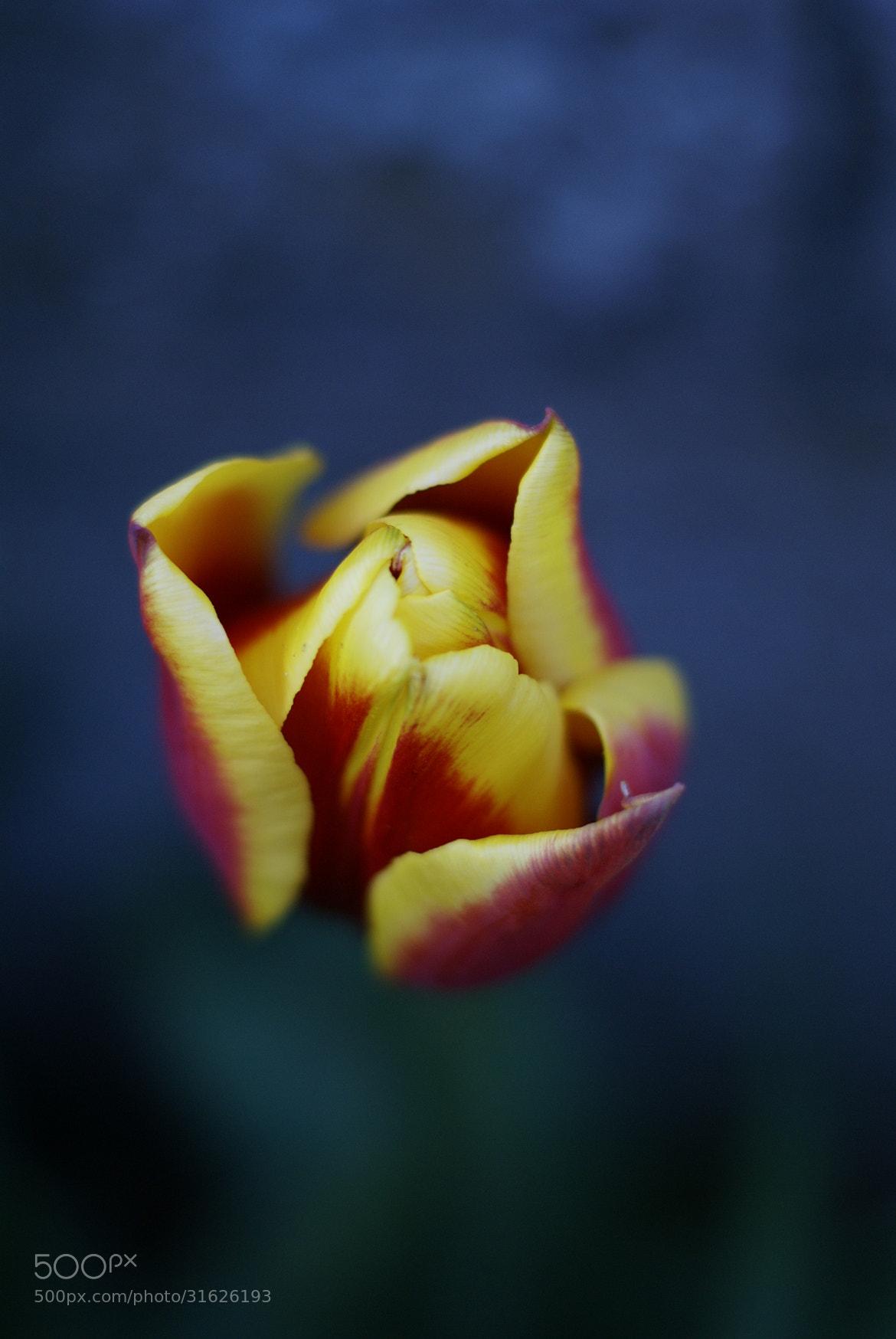 Photograph Tulip by Nico las on 500px
