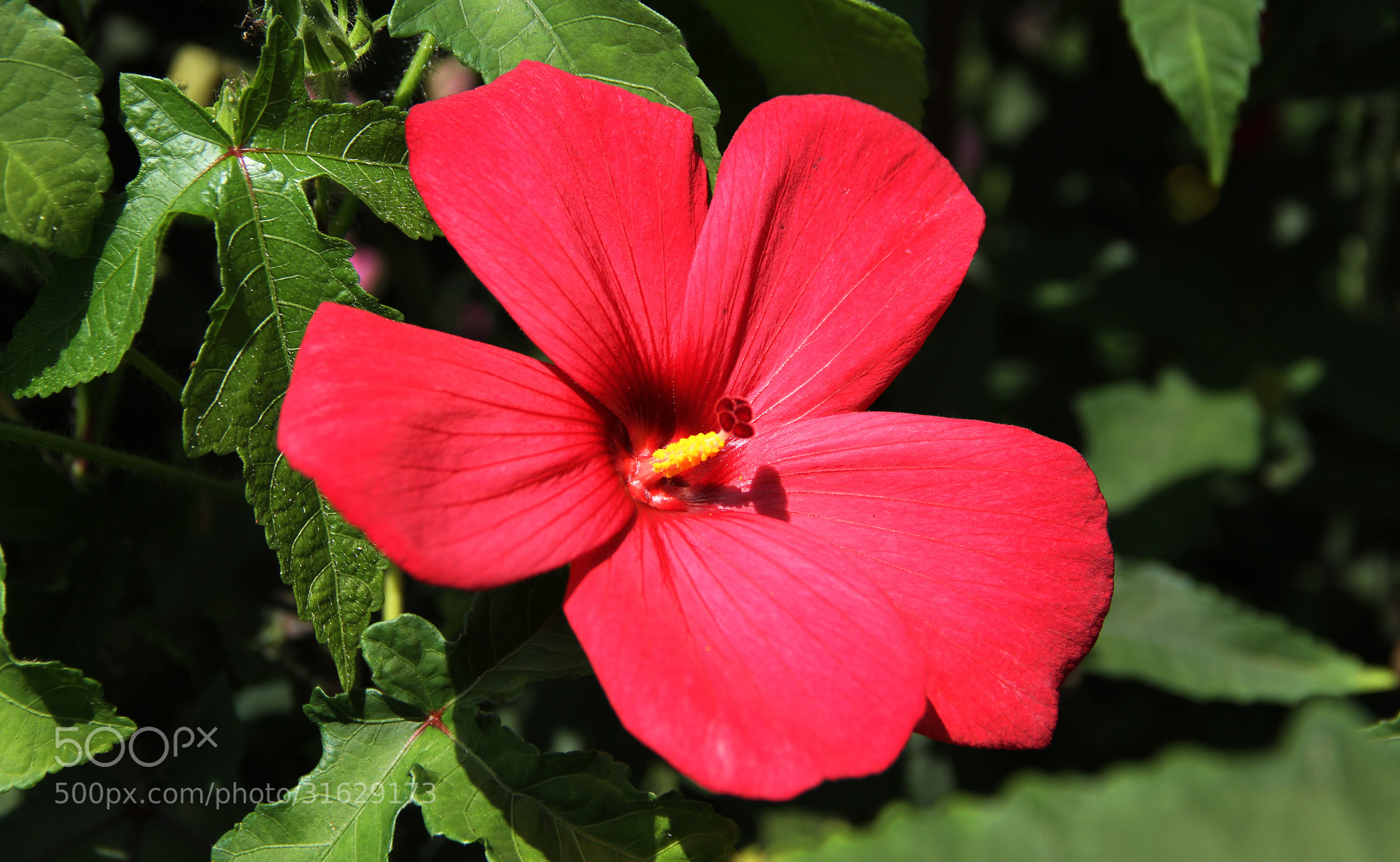 Photograph Hibiscus by Prasul Prasanthan on 500px