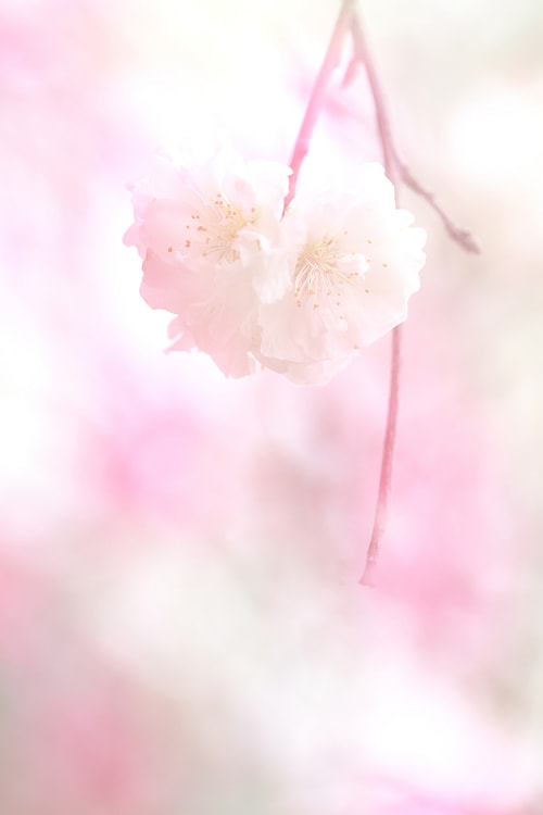Photograph Pink a little by AI  OGISO on 500px