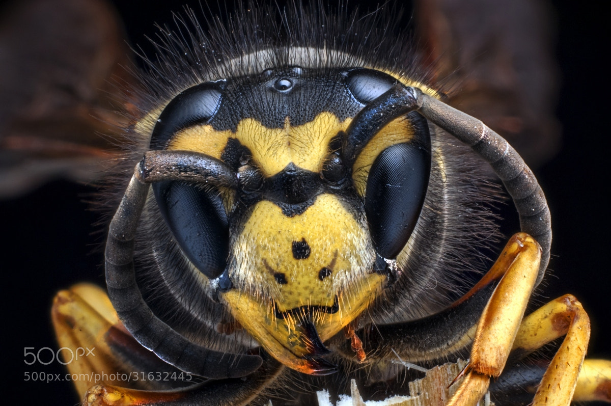 Photograph The wasp by Fulvio Mattana on 500px