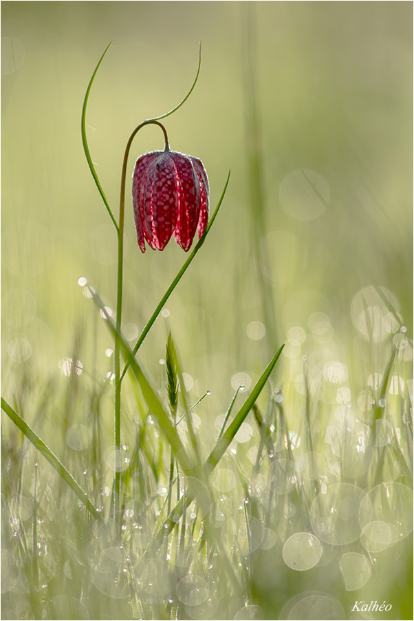 Photograph Fritillaire by florence Kalheo on 500px