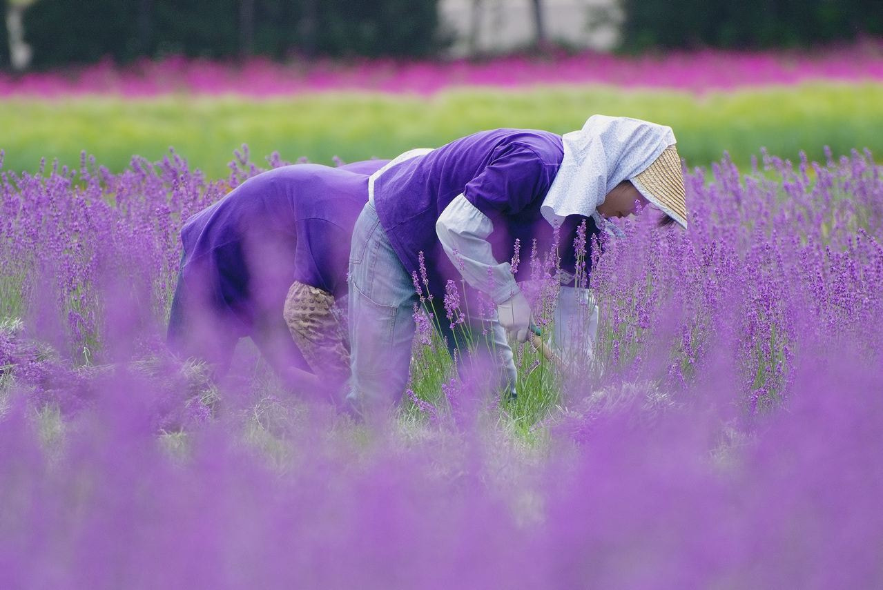 Photograph Work in the lavender field by Mac So on 500px