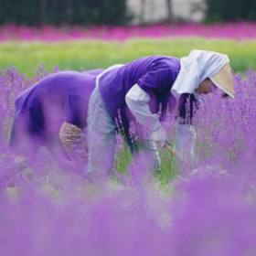Work in the lavender field