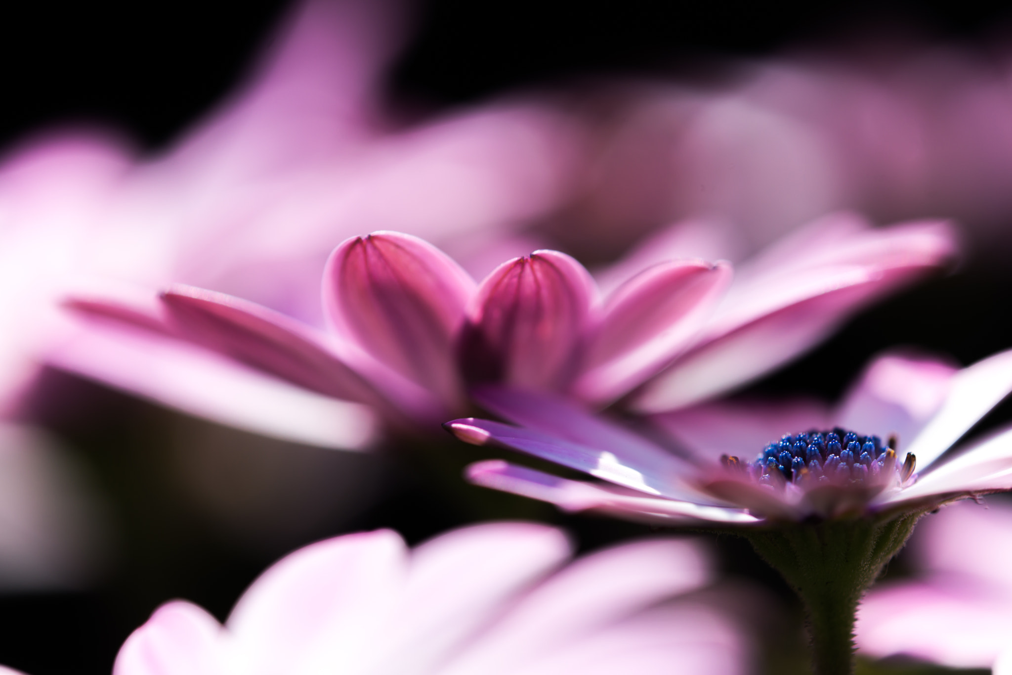 Photograph Osteospermum by marbee .info on 500px