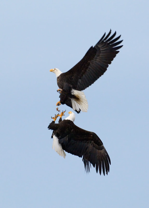 The Bald Eagle on top drops the food while the Eagle underneath is lifting it's talons to catch it.