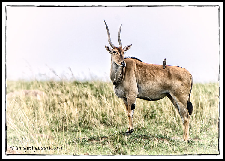 Eland - The largest antelope (Maasai Mara, Kenya)