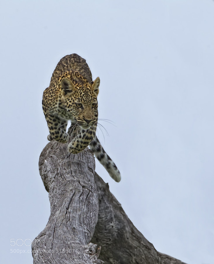 Some of this yoing Leopardess antics in the tree were quite frightening here she bounds down from a very high branch.  Savute, Botswana
