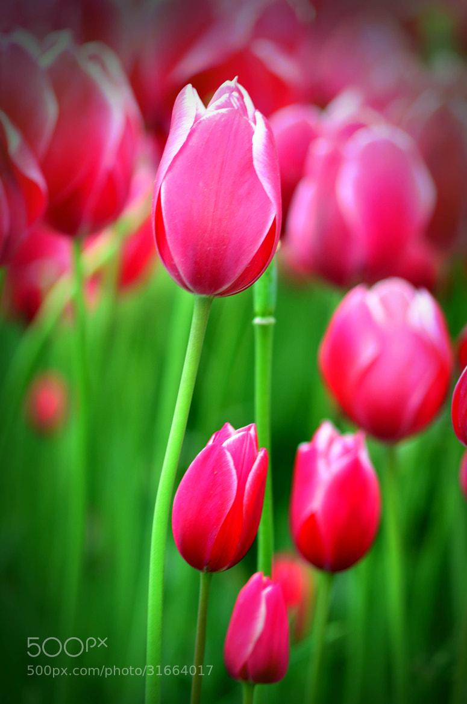 Photograph The tulip by Gizem Küçükmetin on 500px