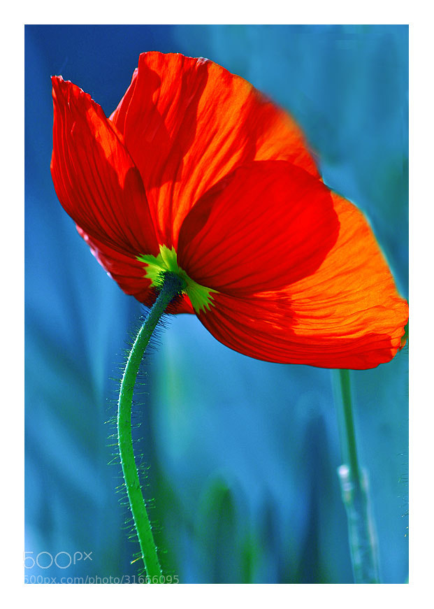 Photograph rouge coquelicot by Marie Hacene on 500px