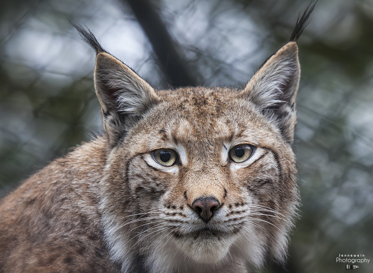 Photograph Lynx by Jennewein Photography on 500px