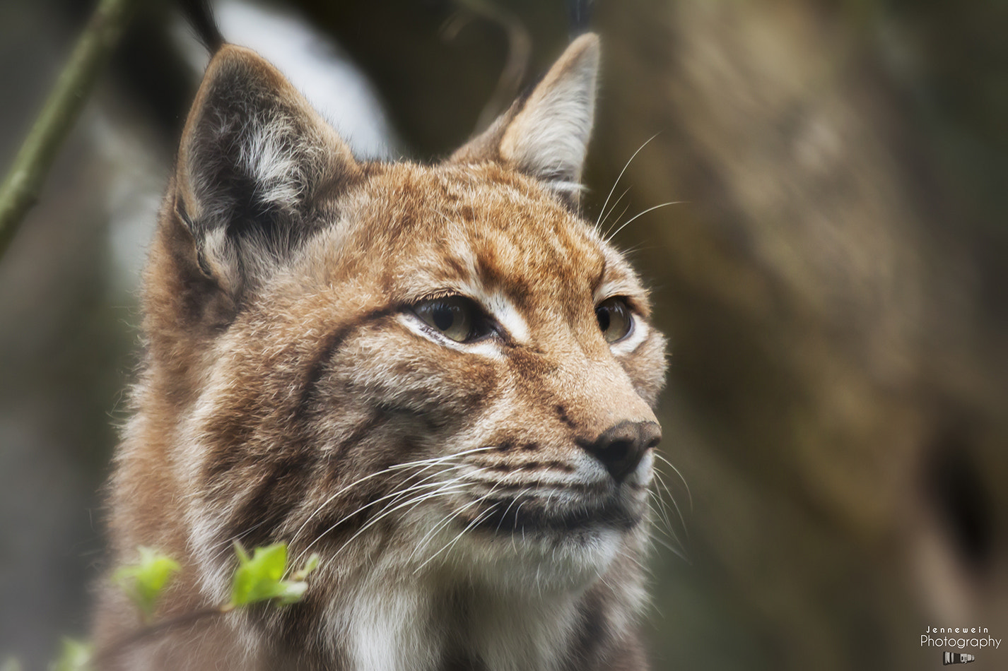 Photograph Lynx by Alex Jennewein on 500px
