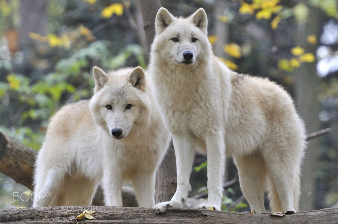 Photograph Two Arctic Wolves by Josef Gelernter on 500px