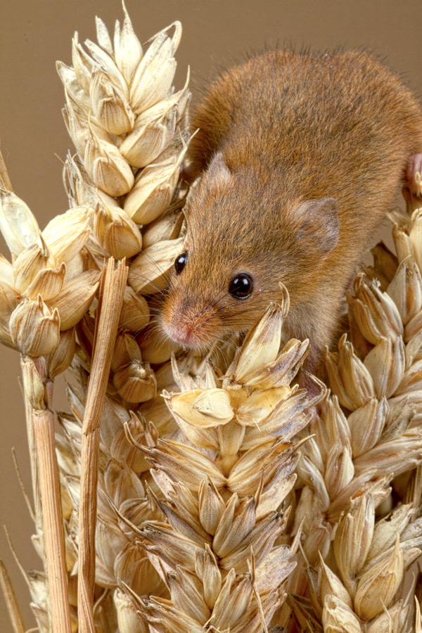 Photograph Harvest Mouse by Val Saxby on 500px