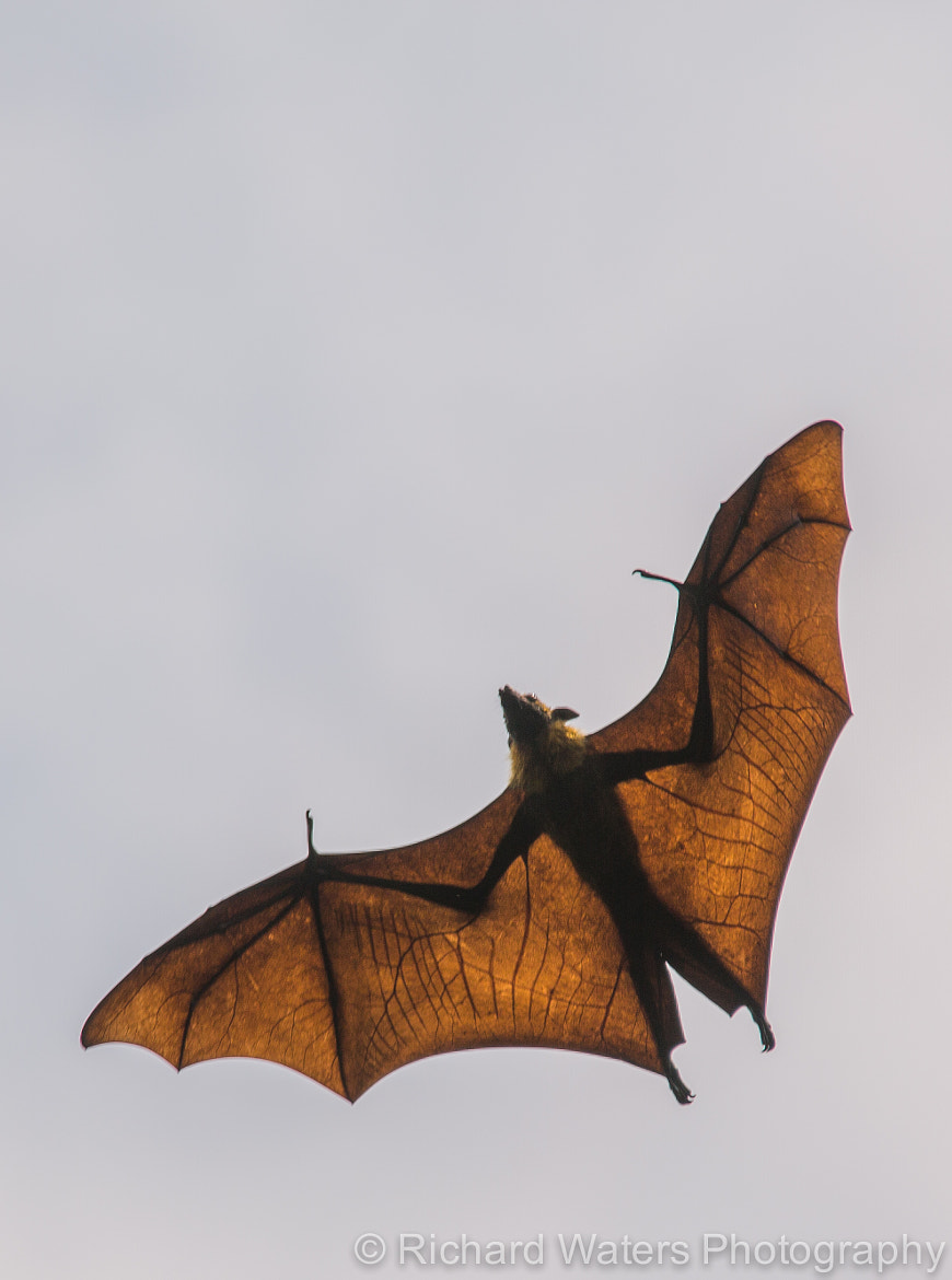 Photograph Fruit Bat by Richard Waters on 500px