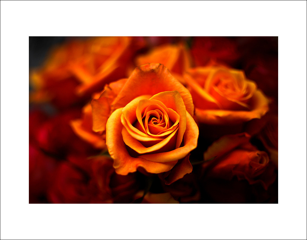 Photograph Rose... by Adios... 's Photo on 500px