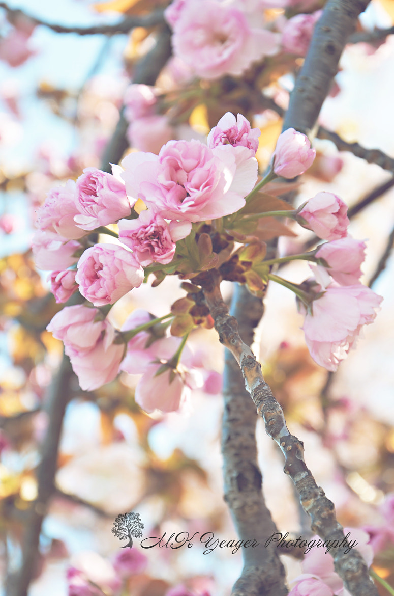 Photograph Pink Blossoms by Michelle * on 500px