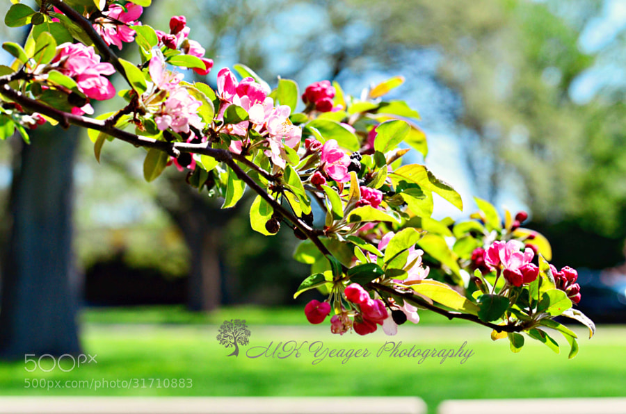 Flowering Branch by Michelle Yeager (MichelleYeager)) on 500px.com