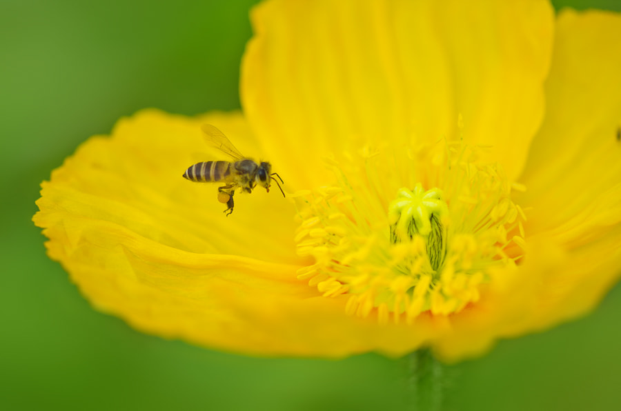 Photograph Busy Bee by Zalynn Zhong on 500px