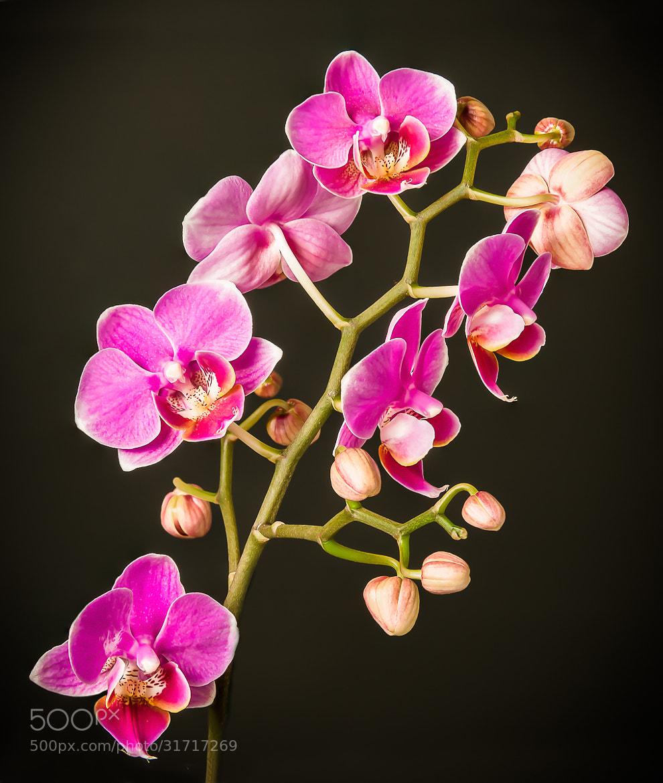 Photograph Phalaenopsis by Jingjing Li on 500px