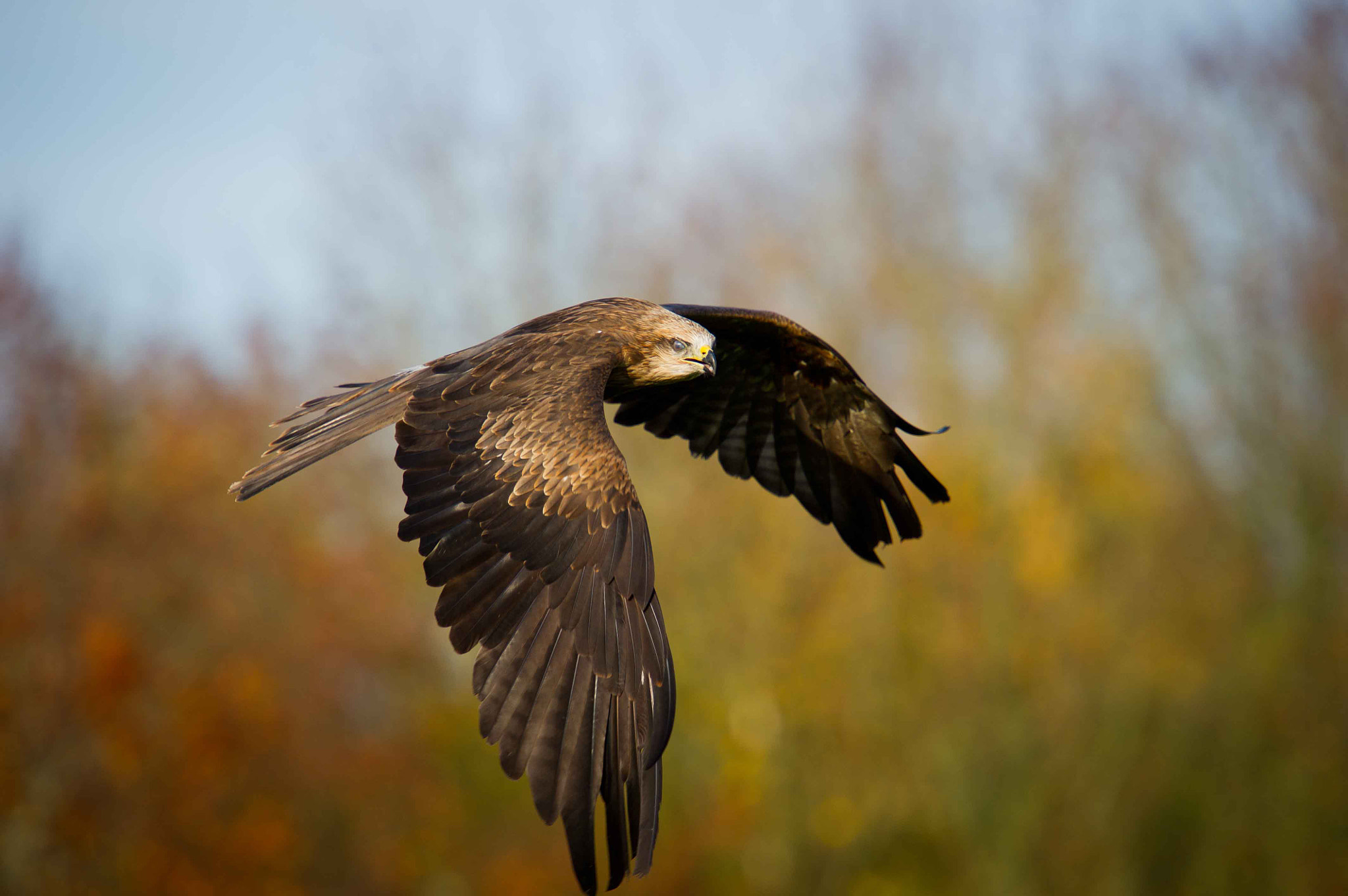 Photograph Red Kite by Mauri  on 500px