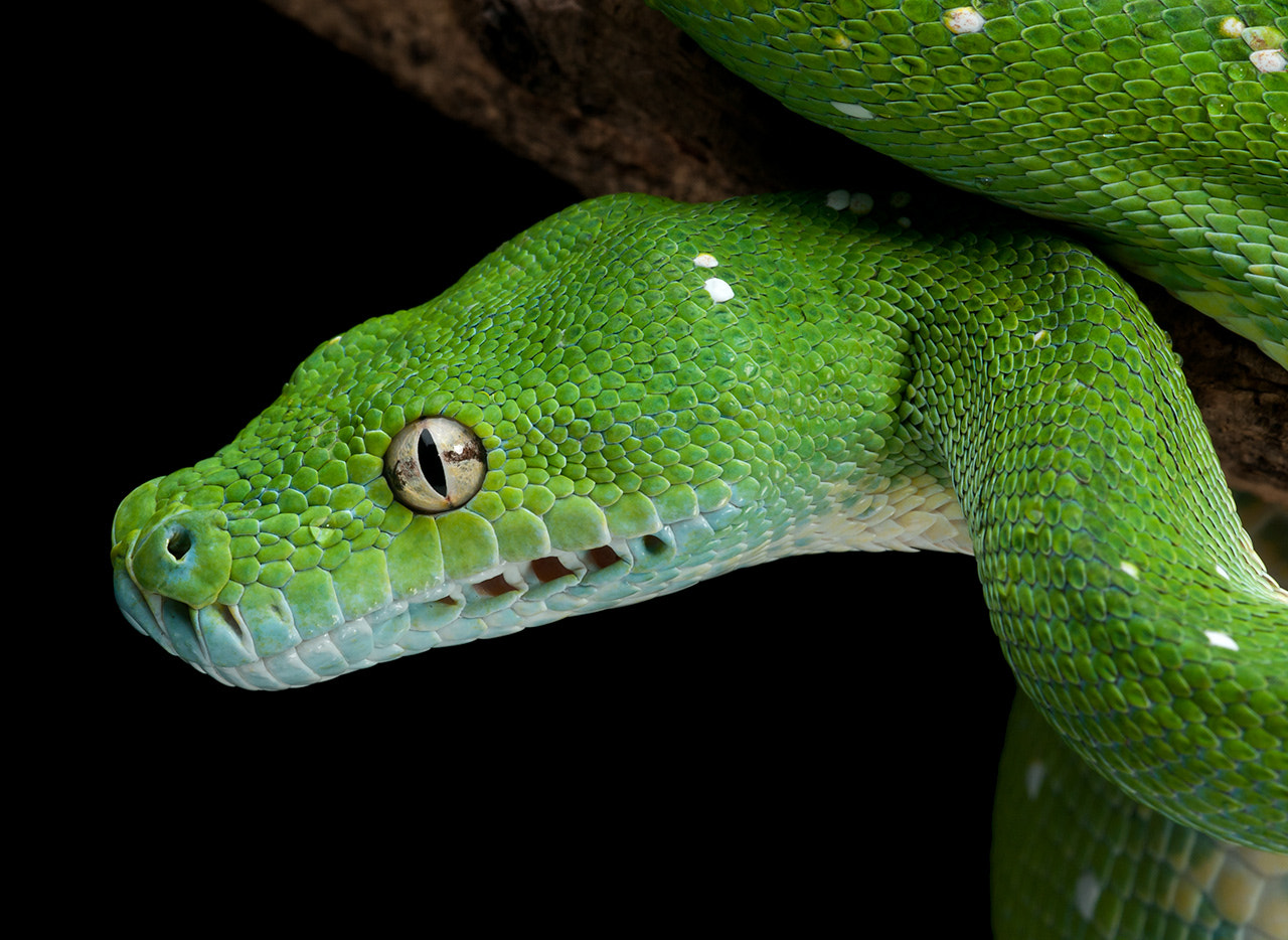 Photograph Green Tree Python by Henrik Vind on 500px