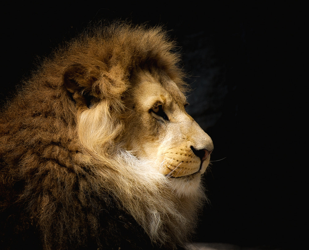 Photograph Lion King by Ingo Wagner on 500px