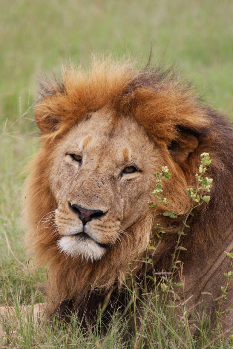 Photograph Lion by J. Welz on 500px