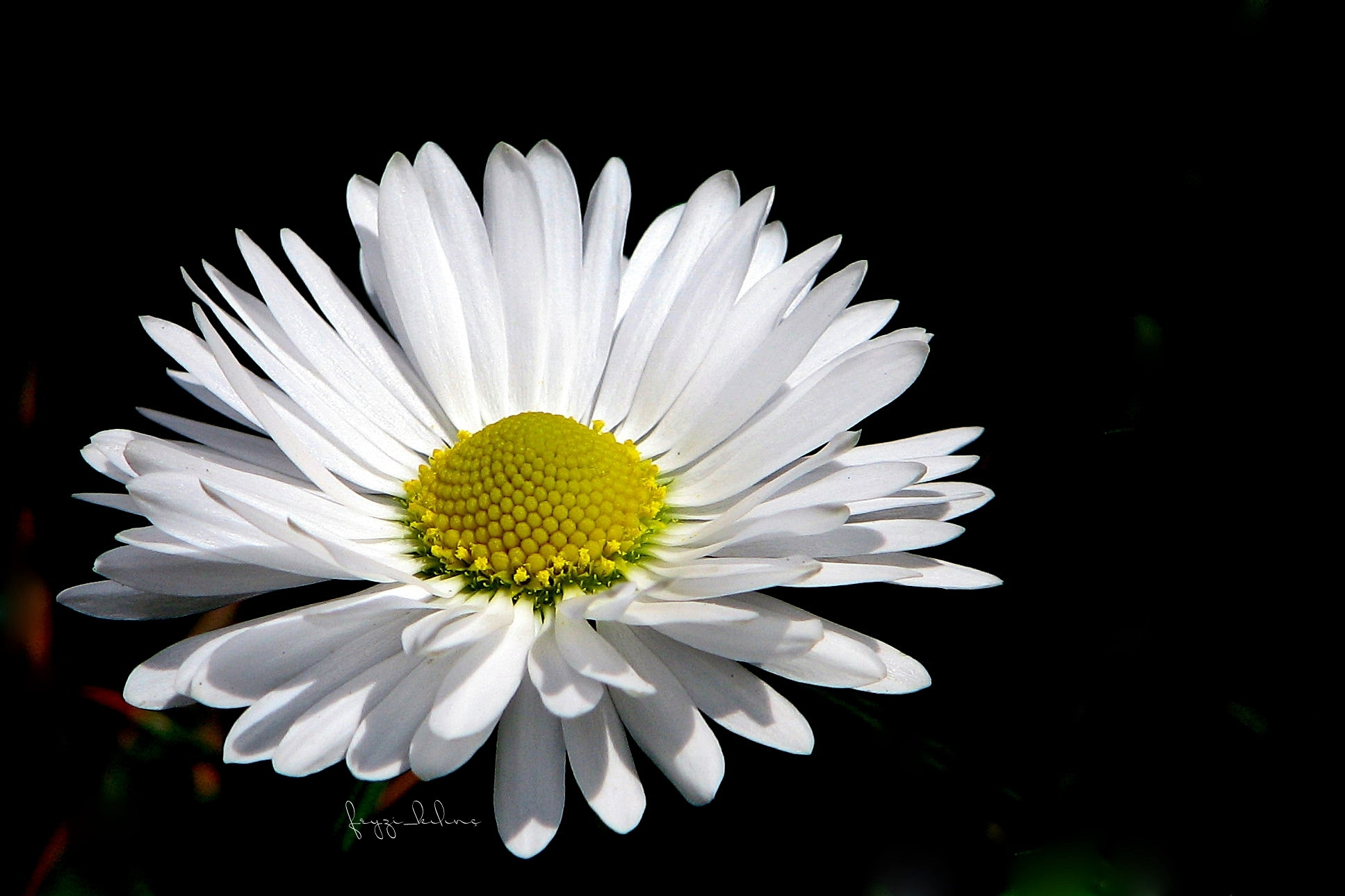 Photograph Daisy by feyzi klnc on 500px