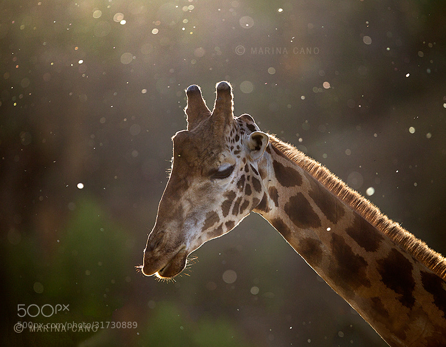 Photograph Spring Giraffe by Marina Cano on 500px