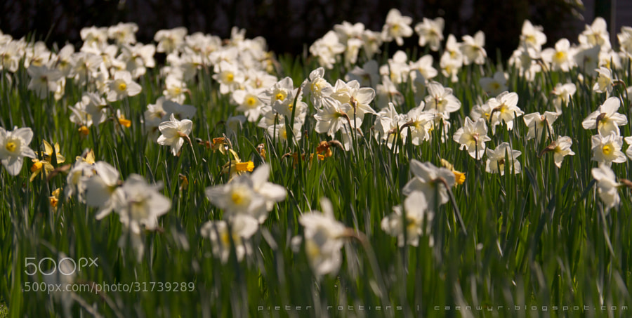 the Narcistic Daffodil by Pieter Rottiers (Caenwyr)) on 500px.com