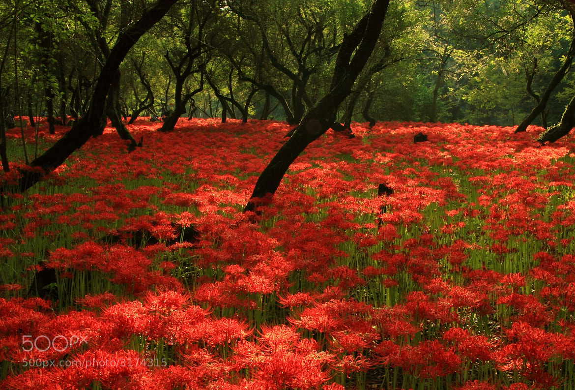 Photograph Red Carpet by Sueo Takano on 500px