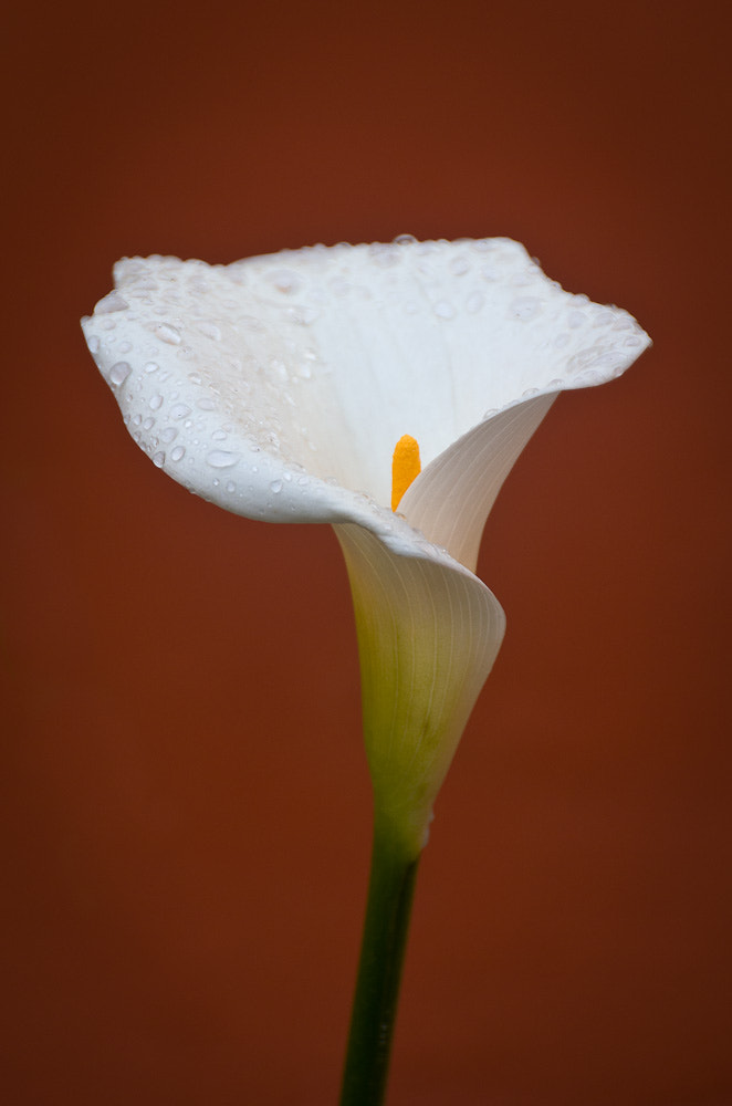 Photograph Calla Lily in Dew by Jeff Revell on 500px