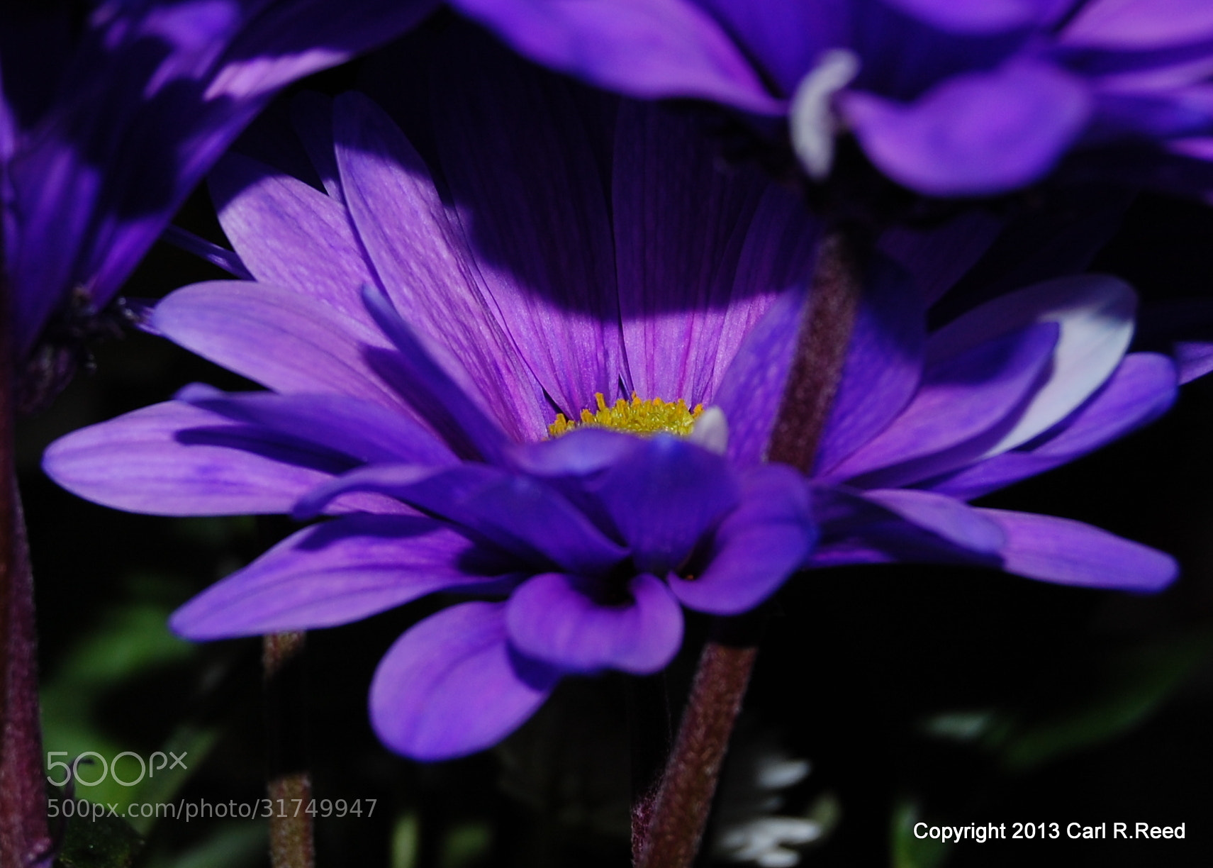 Photograph 4162-closeup flower by Carl Reed on 500px