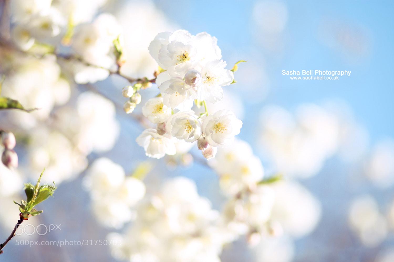 Photograph White Blossom by Sasha L'Estrange-Bell on 500px