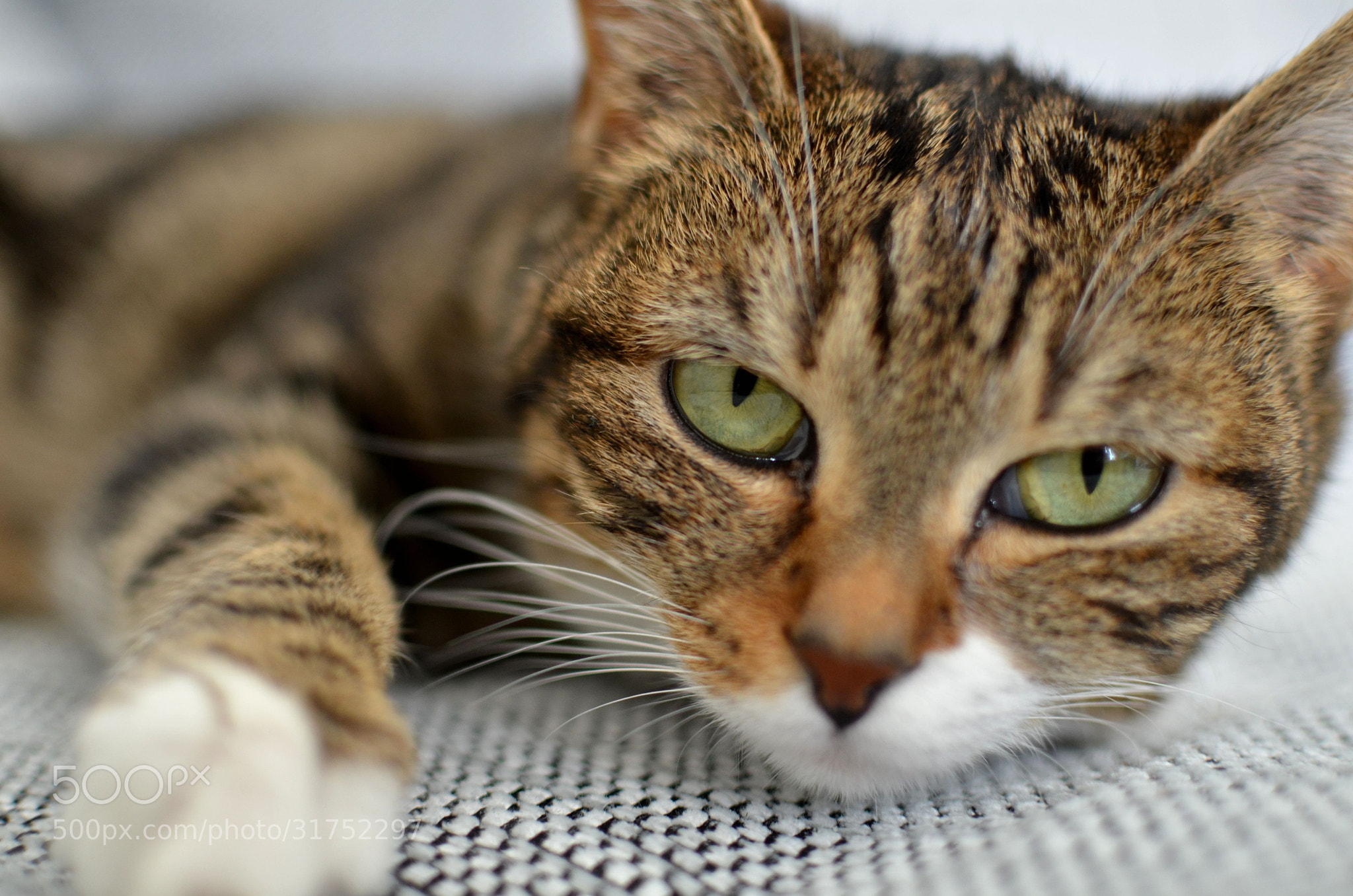 Photograph Kira, the cat by Michael Vergères on 500px
