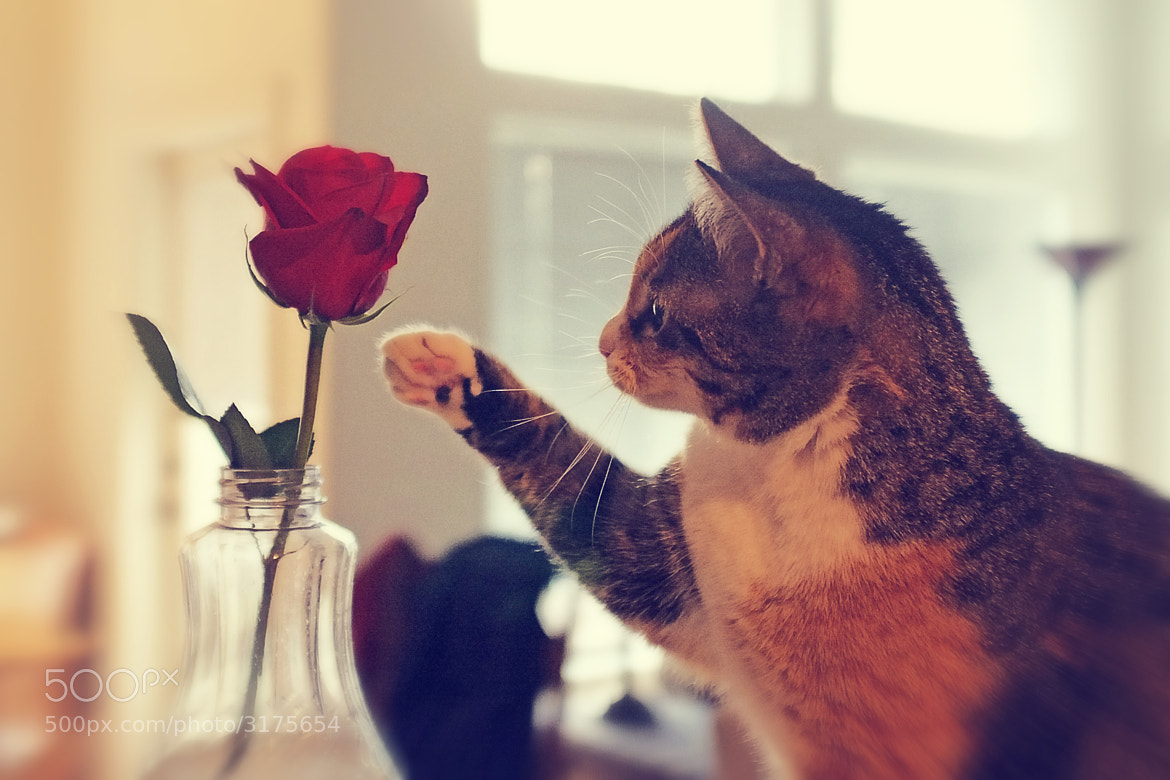 Photograph Cat and Rose by Joe Wilson on 500px