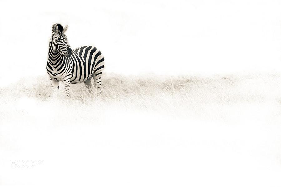 One Zebra by Mario Moreno (mariomoreno)) on 500px.com
