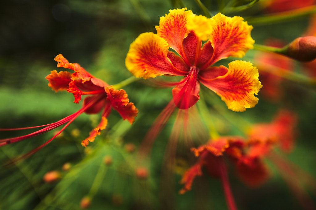 Photograph Caesalpinia Pulcherrima by Thomas Rawyler on 500px