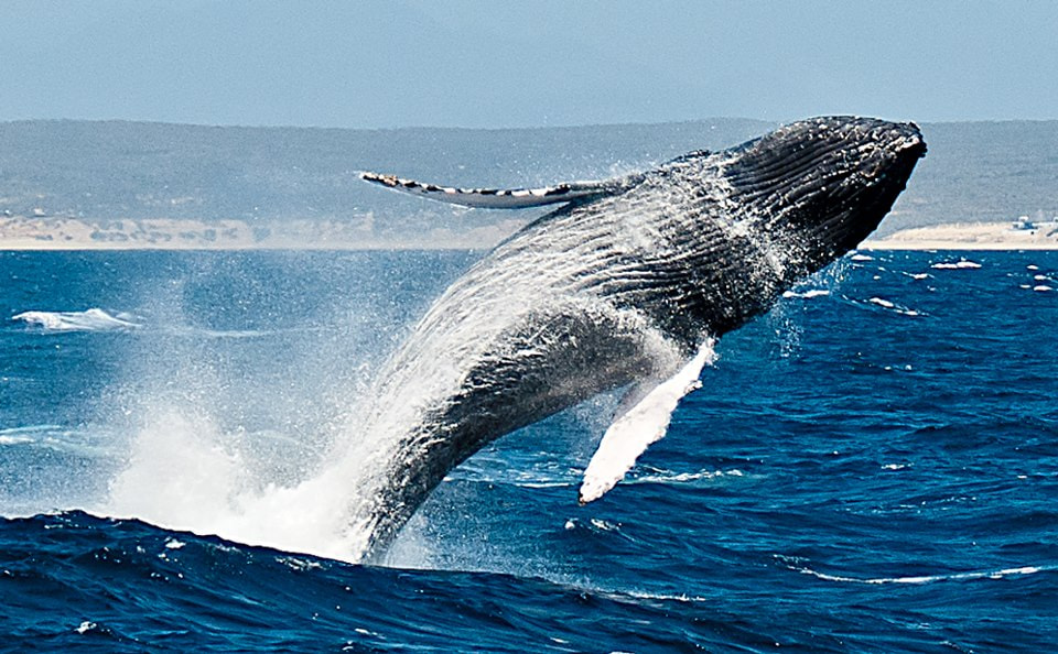 Photograph Humpback by Greg Waters on 500px