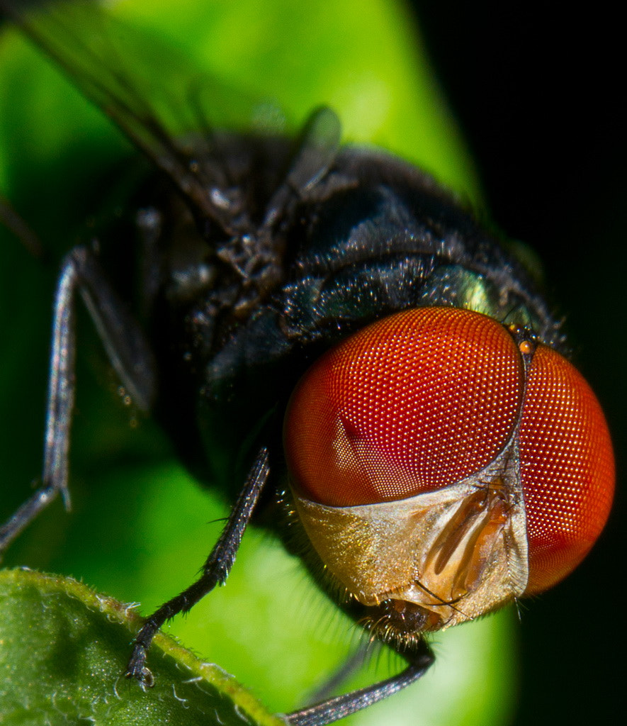 Photograph face of the fly by eko janu on 500px