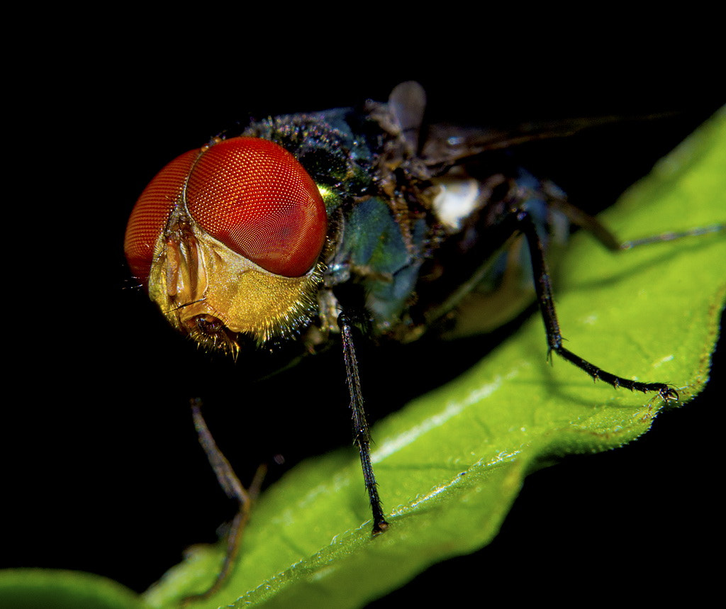 Photograph face of the fly (2) by eko janu on 500px