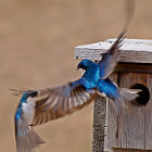 Tree swallow fight