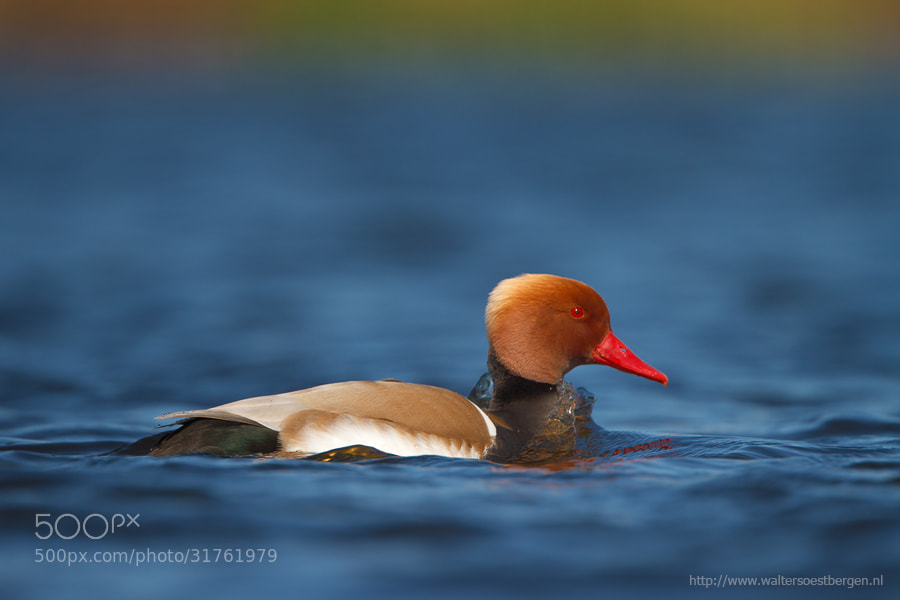 Photograph Red-crested Pochard by Walter Soestbergen on 500px