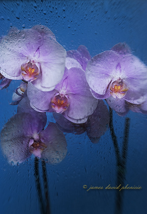 Flower Series:  Pink Orchids in a Rain