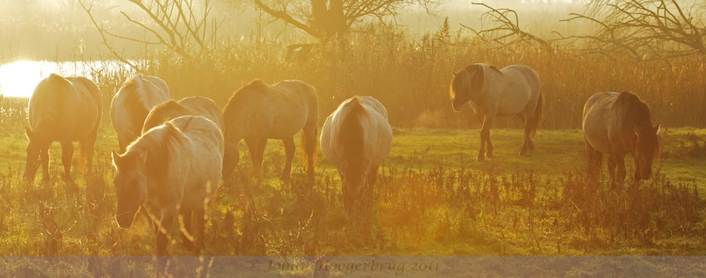 Photograph Konik horses at Dawn II by Johan Hoogerbrug on 500px