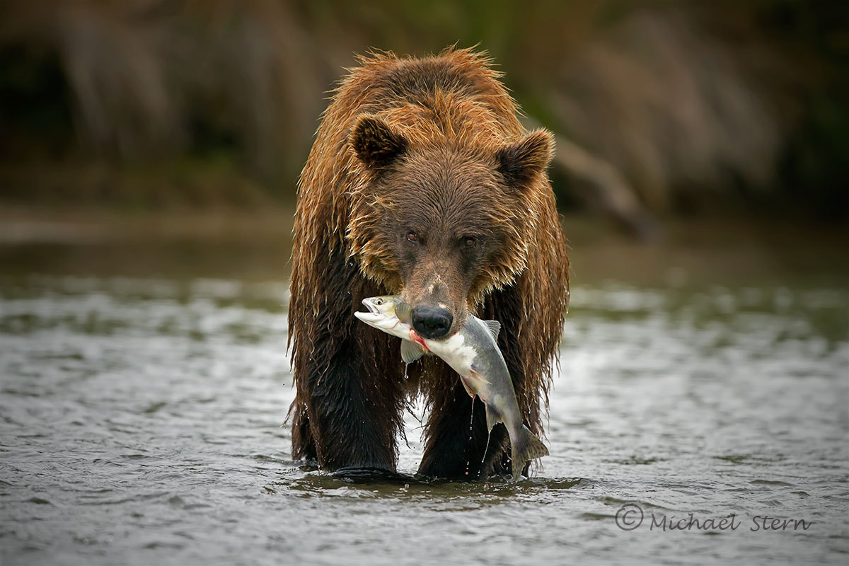 Photograph Grizzly Brown Bear with Salmon by Michael Stern on 500px