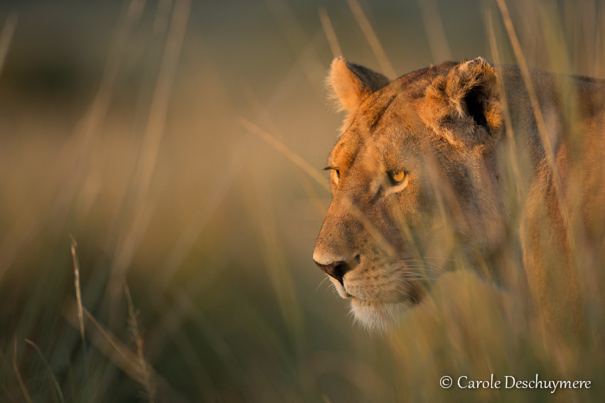 Photograph Golden lioness by Deschuymere Carole on 500px