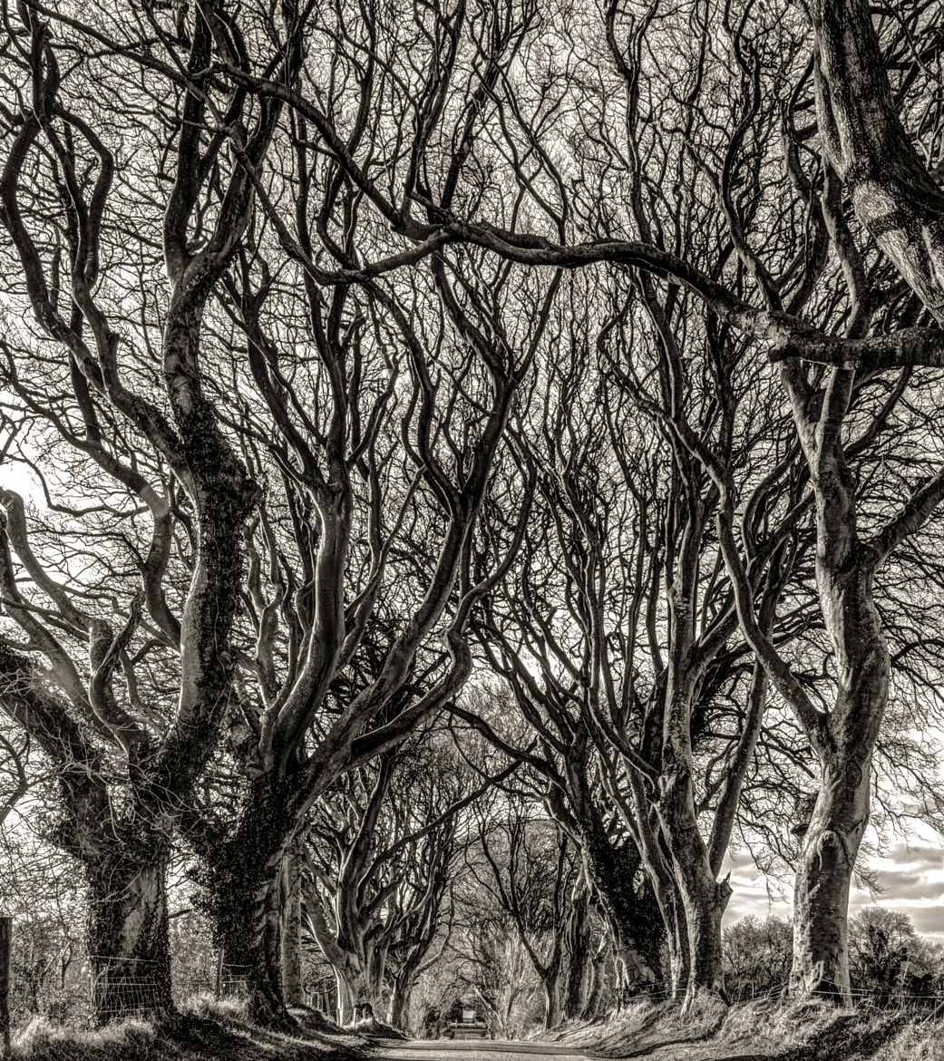 Photograph The Dark Hedges 1 by David Dickens on 500px