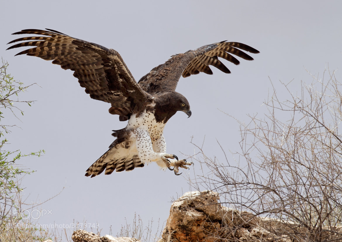 Photograph Martial Eagle by Desiré Darling on 500px