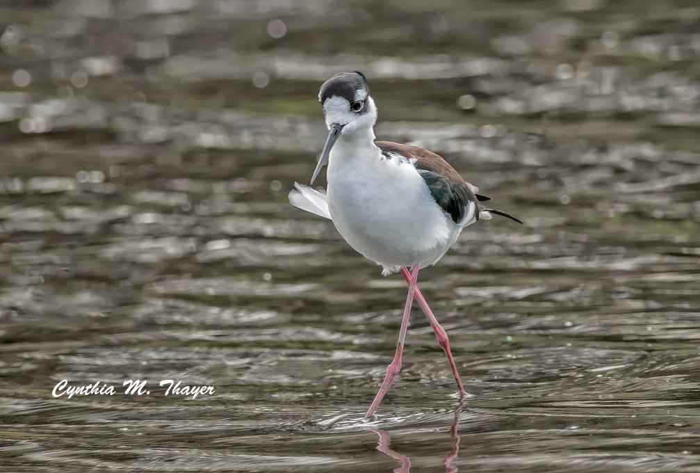 Photograph Black Neck Stilt by Cynthia Mathre Thayer on 500px